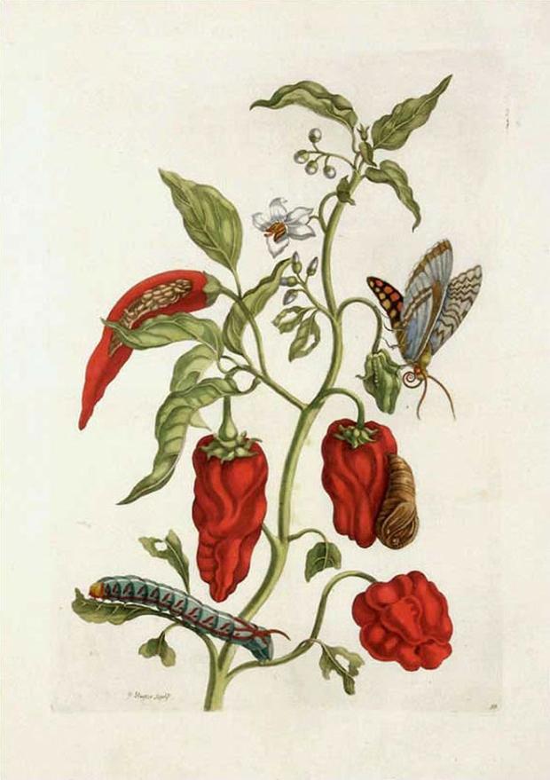 Pepper-Plant-Capsicum-Maria-Sibylla-Merian-goplaymagazine
